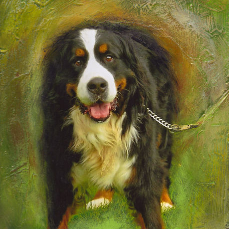 Bernesemountain-dog