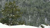 Snowed Pine by Andreas Charitonos
