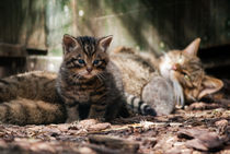 Scottish Wildcat mother and kitten by Linda More