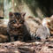 Wildcat-and-kitten-img-0284