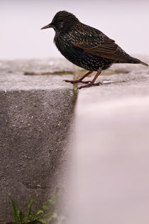 Starling by Prodromos Antzoulis