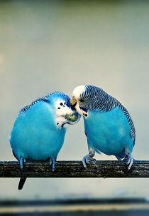 Parakeet love by marta-b
