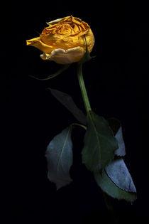 Yellow rose by Alexander Tenghamn