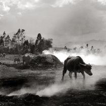 buffalo walking von captainsilva