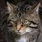 Scottish-wildcat-img-7161-sq