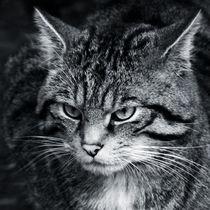 Scottish wildcat head close up  von Linda More