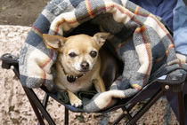 CHIHUAHUA IN A BLANKET Mexico by John Mitchell