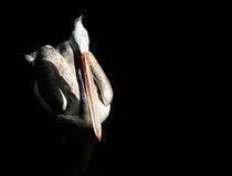 pelican_III by André Zeischold