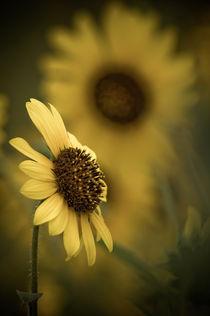 Wild Sunflowers  by John De Bord