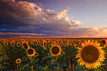 Sunflower Sunlight by John De Bord