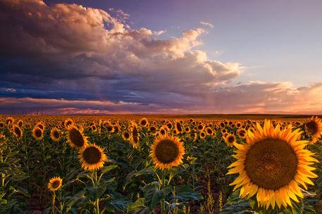Sunflower-sunlight