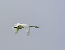 Schwan im Flug-wildlife by Wolfgang Dufner