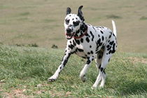 Dalmatian enjoying a run by Diane Langenstrass