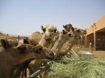[Abu Dhabi] - Camels eating von Dave ten Hoope