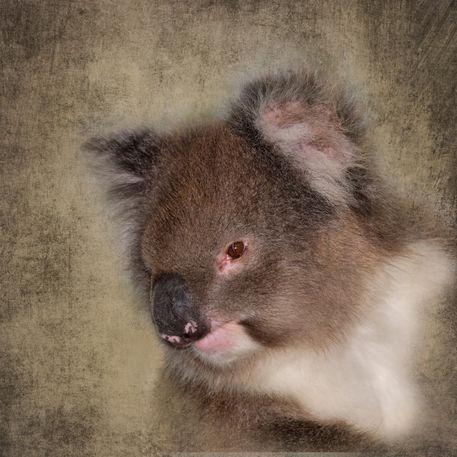 Koala4816a