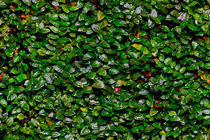Wall of leaves 2 by Juan Carlos Lopez