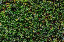 Wall of leaves 1 von Juan Carlos Lopez