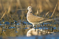 Eurasian Collared Dove . I by Yaniv Eliash