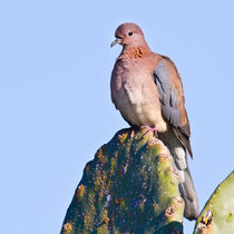 Laughing Dove . I  by Yaniv Eliash