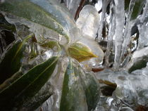 Ice covered rhododendron 02 by Jörgen  Sangsta