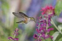 Broad-tailed Hummingbird [Selasphorus platycercus] von Barbara Magnuson & Larry Kimball