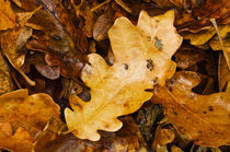 Oak leaves by Barbara Magnuson & Larry Kimball