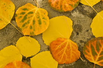 Autumn Aspen leaves von Barbara Magnuson & Larry Kimball