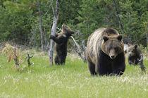 Grizzly Bear [Ursus arctos] von Barbara Magnuson & Larry Kimball