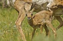 Pronghorn Antelope [Antilocapra americana] von Barbara Magnuson & Larry Kimball