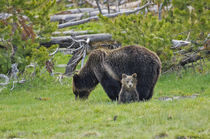 Grizzly Bear Mother and Child von Barbara Magnuson & Larry Kimball