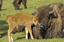 Bison bison von Barbara Magnuson & Larry Kimball