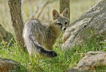 Gray Fox [Urocyon cinereoargenteus] by Barbara Magnuson & Larry Kimball