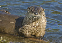 North American River Otter [Lutra canadensis] von Barbara Magnuson & Larry Kimball
