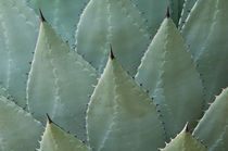 Agave by Barbara Magnuson & Larry Kimball