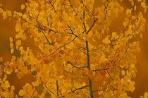 Aspen Tree in Autumn by Barbara Magnuson & Larry Kimball