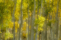 An Aspen Grove by Barbara Magnuson & Larry Kimball