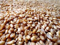 Wheat by Muhammad Humayun Khan