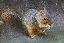 Fox Squirrel (Sciurus niger)  by Eye in Hand Gallery
