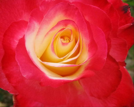 Double-delight-rose
