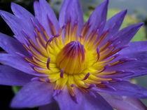 Purple Night Blooming Waterlily von Larry Eiring
