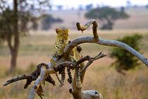 Leopard on tree by Víctor Bautista