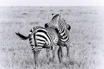 Zebra by Víctor Bautista