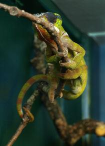 chameleon von Charlotte Fenner