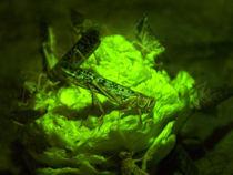 Crickets von Charlotte Fenner