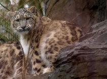 Snow Leopard von Charlotte Fenner