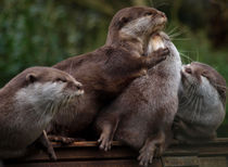 Otters by Charlotte Fenner