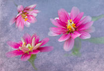 Pink Zinnia Triplets by Betty LaRue