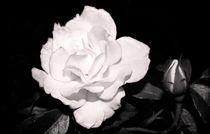 Night-roses