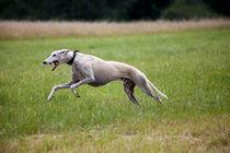 Sighthound speeding up von safaribears