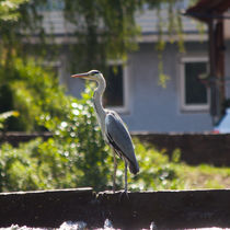 Egret on a weir by safaribears